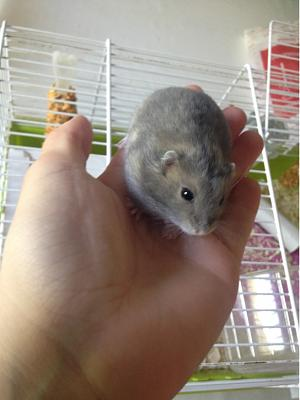 10 hamsters russes, Angers-male-26-mai.jpg