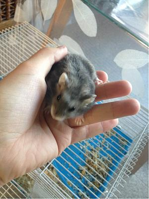 10 hamsters russes, Angers-male-7-mai.jpg