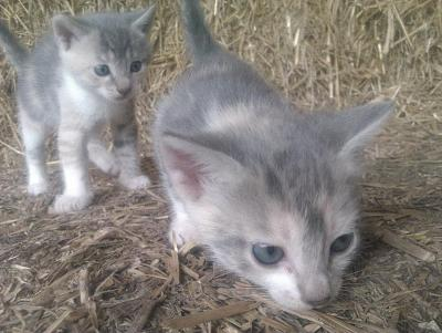 2 chatons à adopter (Poitiers)-2-tricolors.jpg