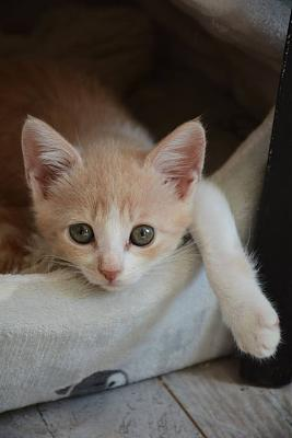 5 chatons à l'adoption - Association ALMA-chaton2f.jpg