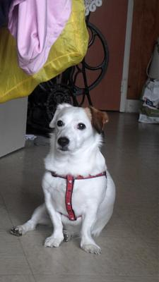 Aby Jack russel à adopter  4 ans adorable 77-nanteu16.jpg