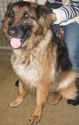 ADELLE TYPE BERGER ALLEMAND 6 ANS 1/2 sarthe (72)-adelle.jpg