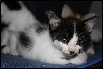 A adopter 5 chatons tricolore(34)-tit-2.jpg