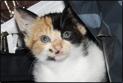 A adopter 5 chatons tricolore(34)-tit-5.jpg