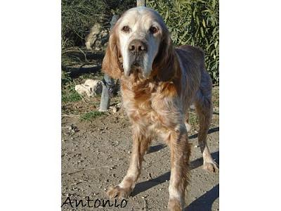 A adopter Antonio, adorable setter-antonio.jpg