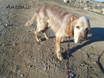 A adopter Antonio, adorable setter-antonio3.jpg