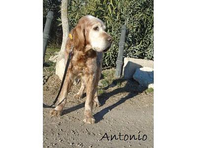 A adopter Antonio, adorable setter-antonio7.jpg