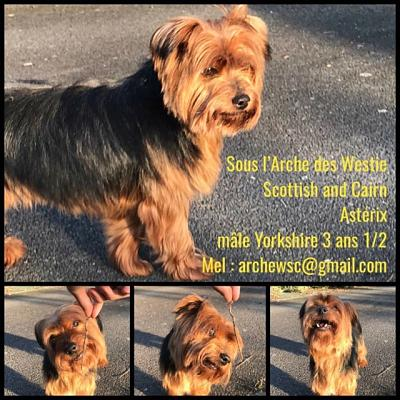 A adopter ASTERIX Yorkshire 3 ans-40855310.jpg