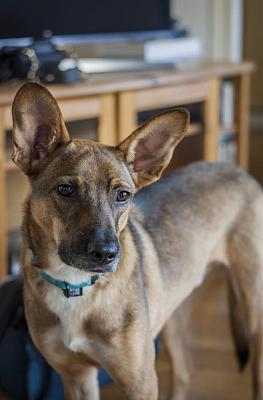 A ADOPTER BERGUY MALE NE 10/2017 18KG-berguy4.jpg
