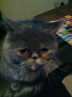 A adopter chat type exotic Shorthair-598702_10200825048812340_2081359886_n.jpg