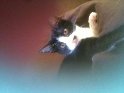 a adopter chatte 3 mois noire et blanche-photo-1-.jpg