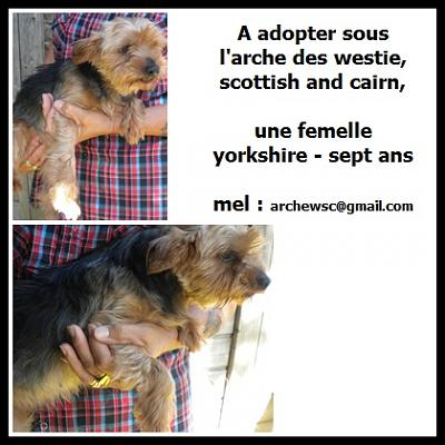 A ADOPTER COSETTE FEMELLE YORSHIRE 7 ANS-causette.jpg