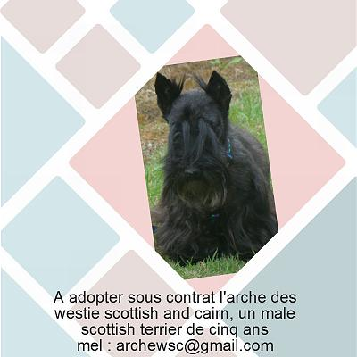 A ADOPTER  ERMO MALE SCOTTISH TERRIER 5 ANS ET DEMI-presen12.jpg