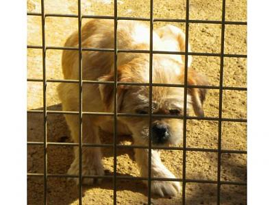 A ADOPTER FEMELLE LHASSA APSO TROIS-gipsy.jpg