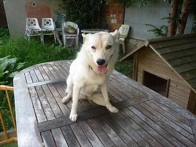 A ADOPTER MAYA gentille chienne croisée loulou blanche 4 ans-292179_390153687694895_100001008004813_1161923_641103685_n.jpg