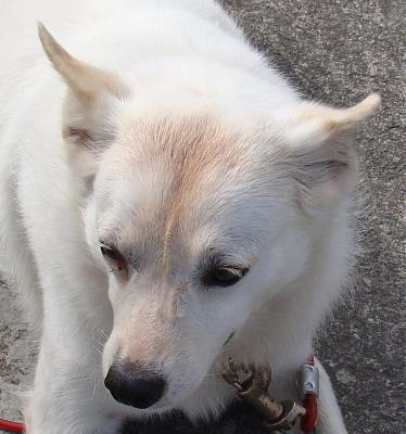 A ADOPTER MAYA gentille chienne croisée loulou blanche 4 ans-maya11.jpg