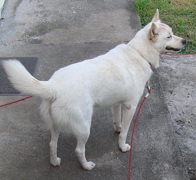 A ADOPTER MAYA gentille chienne croisée loulou blanche 4 ans-maya22.jpg