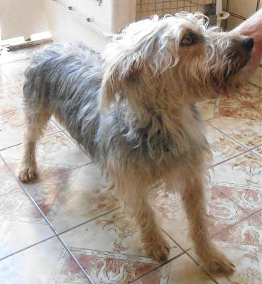 A ADOPTER NUTS gentil croisé cairn terrier 3 ans-nuts3.jpg