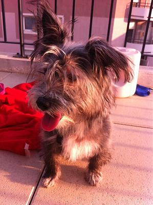 A adopter Snoopy chiot Labrit de 6 mois-snoopy.jpg