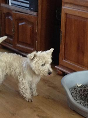 A ADOPTER WESTIE MALE 9 MOIS-photo.jpg