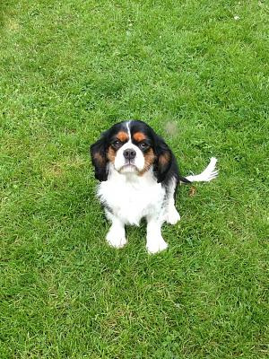 ADOPTION FAROUCK cavalier king charles LOFT via association-10304783_515438855250215_6388288469952585737_n.jpg
