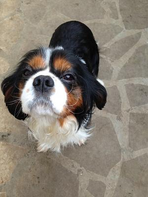 ADOPTION FAROUCK cavalier king charles LOFT via association-farouck1.jpg