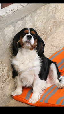 ADOPTION FAROUCK cavalier king charles LOFT via association-img_4680.png