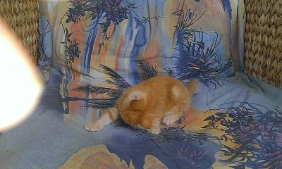 Adorable chaton mâle roux 2 mois attend sa famille (21)-unknown_parameter_value.jpg