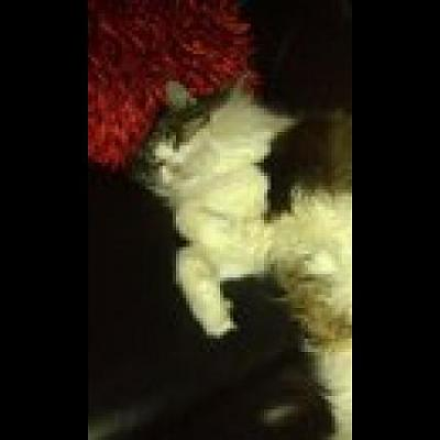 andra chat angora perdu a milly la foret-35458_large.jpg