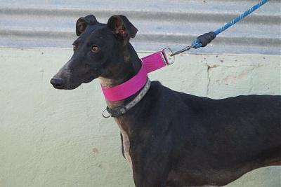 Apolo, Galgo de 1 an-apolo-7-.jpg