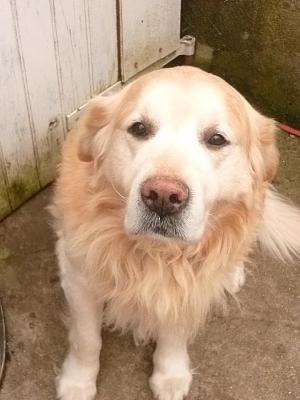 ARISTOTE, golden retriever, 8 ans. Département 14. URGENT.-aristote.jpg