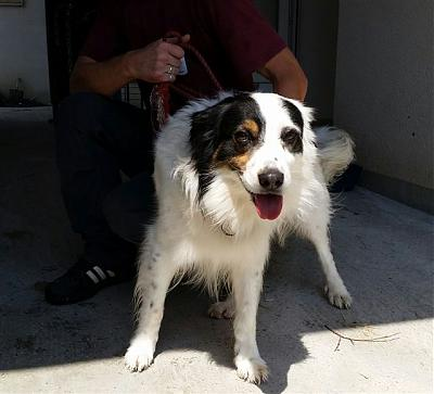 Barry - epagneul x border collie 5 ans - FOURRIERE IDF - Délai 10/07-18521-2-.jpg