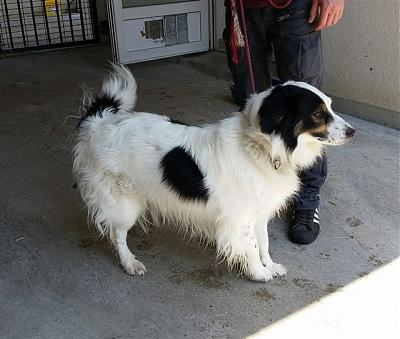 Barry - epagneul x border collie 5 ans - FOURRIERE IDF - Délai 10/07-18521b-2-.jpg