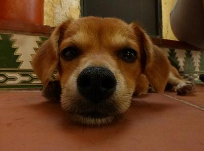 Bart adorable chiot 6 mois vrai clown attend sa famille (Grenade, Espagne)-a_5891380586187.jpg