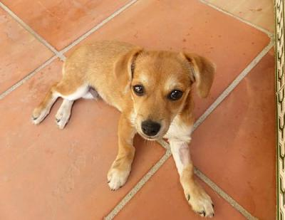 Bart adorable chiot 6 mois vrai clown attend sa famille (Grenade, Espagne)-a_5891380586188.jpg