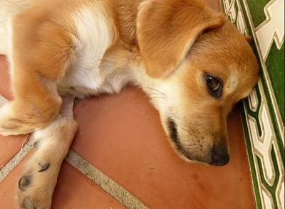 Bart adorable chiot 6 mois vrai clown attend sa famille (Grenade, Espagne)-a_5891380586189.jpg