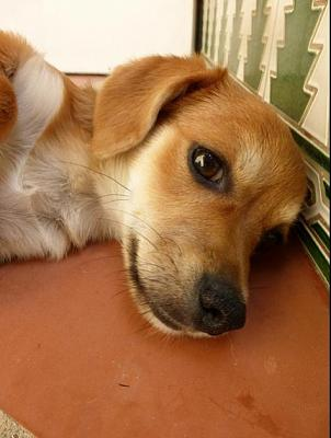Bart adorable chiot 6 mois vrai clown attend sa famille (Grenade, Espagne)-a_5891380586288.jpg