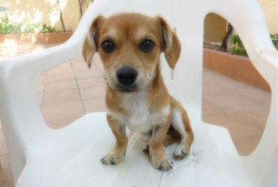 Bart adorable chiot 6 mois vrai clown attend sa famille (Grenade, Espagne)-a_5891380586289.jpg