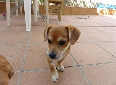 Bart adorable chiot 6 mois vrai clown attend sa famille (Grenade, Espagne)-a_5891380586290.jpg