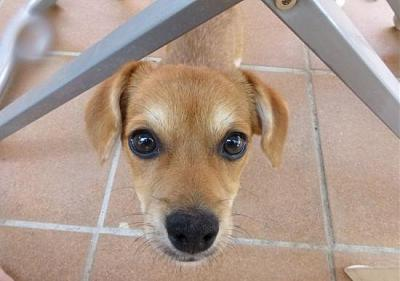 Bart adorable chiot 6 mois vrai clown attend sa famille (Grenade, Espagne)-a_5891380586292.jpg