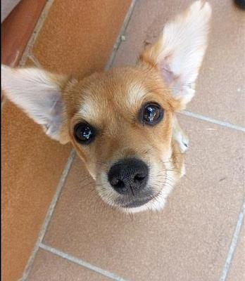 Bart adorable chiot 6 mois vrai clown attend sa famille (Grenade, Espagne)-a_5891380586328.jpg