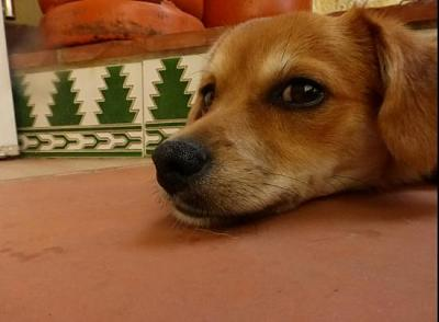 Bart adorable chiot 6 mois vrai clown attend sa famille (Grenade, Espagne)-a_5891380586329.jpg