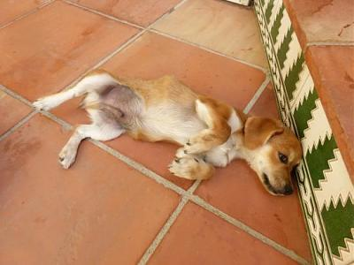 Bart adorable chiot 6 mois vrai clown attend sa famille (Grenade, Espagne)-a_5891380586330.jpg