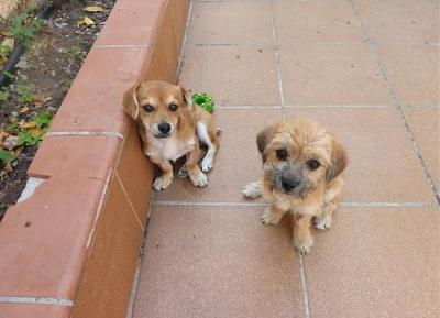 Bart adorable chiot 6 mois vrai clown attend sa famille (Grenade, Espagne)-a_5891380586520.jpg
