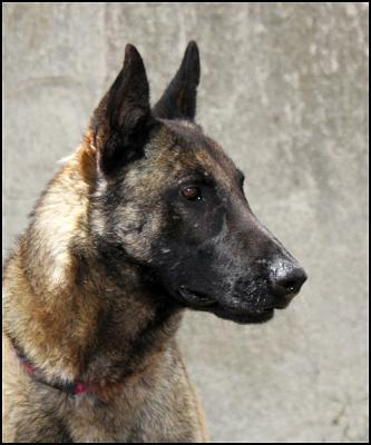 Beau Malinois à accueillir ou adopter-hunter-2-.jpg