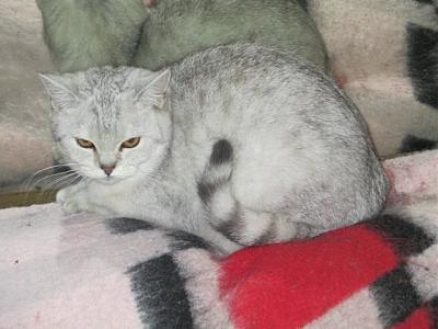 Bella chatonne British shorthair non LOOF - Association Chat d'Or - 91-993744_589604191107274_1854284475_n.jpg