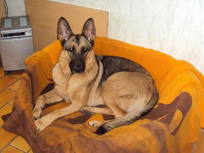 berger allemand à l'adoption-benoit-shiva-001.jpg