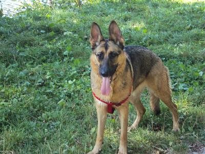 berger allemand à l'adoption-shiva-1-020.jpg