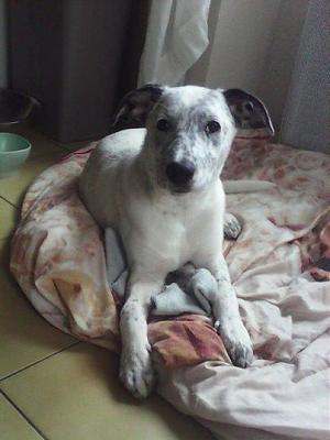 Bianco,  4 mois, taille moyenne à adopter-1797491_497529543690556_469616265_n.jpg