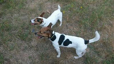 Box p6 JUNIOR M Jack russel 1 an-zoe-junior-.jpg